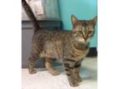 Adopt Faith a Domestic Short Hair