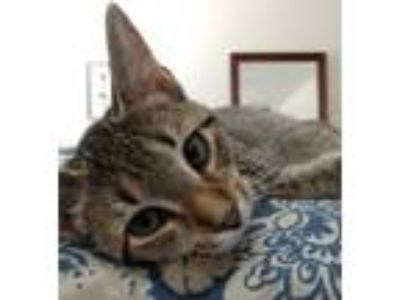 Adopt Chelsea a Calico or Dilute Calico Domestic Shorthair (short coat) cat in