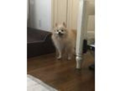 Adopt Shelby a Tan/Yellow/Fawn Pomeranian / Mixed dog in Jacksonville