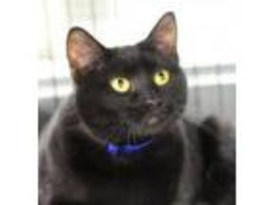 Adopt Pepsi a All Black Domestic Shorthair (short coat) cat in Yukon