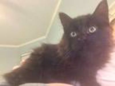 Adopt Spy Girl a Brown or Chocolate Domestic Mediumhair (medium coat) cat in