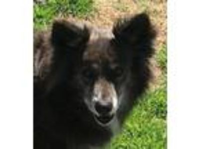 Adopt Boots a Collie, Mixed Breed
