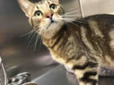 Adopt CHEERIO a Brown Tabby Domestic Shorthair / Mixed (short coat) cat in