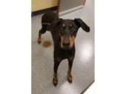 Adopt Sable a Doberman Pinscher