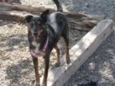 Adopt Tripp a Black - with Brown, Red, Golden, Orange or Chestnut Blue Heeler