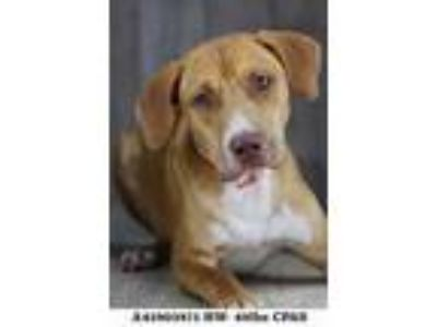 Adopt Marigold a Tan/Yellow/Fawn Labrador Retriever / Mixed dog in Shreveport