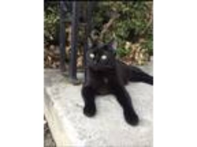 Adopt Soldier a Black (Mostly) Domestic Shorthair (short coat) cat in Baltimore