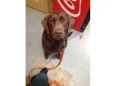 Adopt Duke a Brown/Chocolate Labrador Retriever / Mixed dog in Cumming