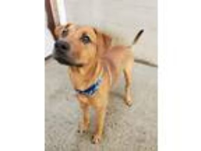 Adopt Axel a Hound (Unknown Type) / German Shepherd Dog / Mixed dog in
