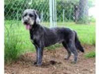Adopt Udon a Gray/Silver/Salt & Pepper - with White Poodle (Standard) / Mixed