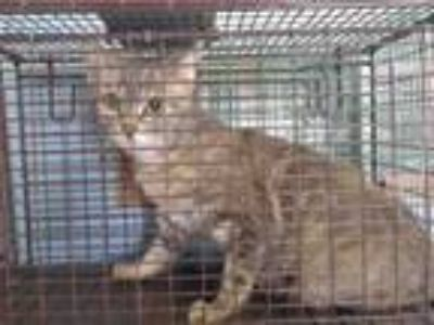 Adopt NEEDS RESCUE a Domestic Short Hair