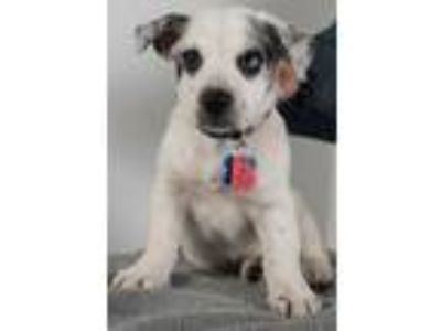 Adopt Fresno Puppy - Foster Needed 5/18! a Australian Cattle Dog / Blue Heeler