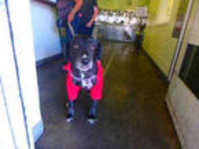 Adopt BELLE a Black - with White Mixed Breed (Medium) / Border Collie / Mixed