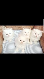 Cfa Dollface persian kittens