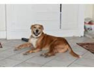 Adopt cinnamon a Red/Golden/Orange/Chestnut - with White Akita / American Pit