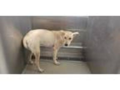 Adopt SHYANNE a Tan/Yellow/Fawn Labrador Retriever / Mixed dog in Fort
