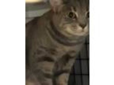 Adopt Ava a Gray or Blue Domestic Shorthair / Domestic Shorthair / Mixed cat in