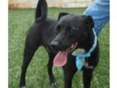 Adopt Bowler a Pit Bull Terrier, Border Collie