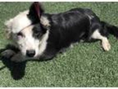 Adopt a Black - with White Border Collie / Mixed dog in Visalia, CA (25272103)