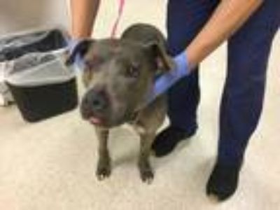 Adopt Dog a Gray/Blue/Silver/Salt & Pepper American Pit Bull Terrier / Mixed dog