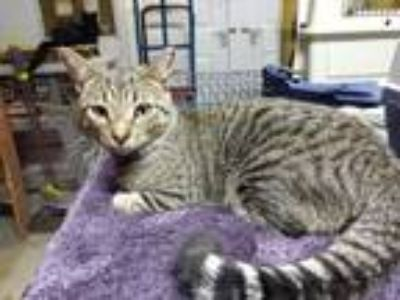 Adopt Jesse James a Domestic Short Hair, Tabby