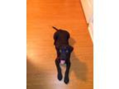 Adopt Chase Rollie a Black - with White Labrador Retriever / Rottweiler / Mixed