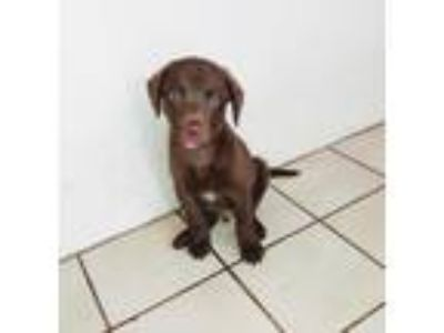 Adopt Jada's pup Burt a Brown/Chocolate Labrador Retriever / Mixed dog in