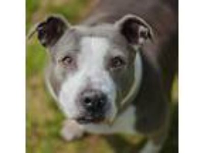 Adopt Roxie a Gray/Silver/Salt & Pepper - with Black Pit Bull Terrier dog in