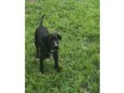 Adopt Rex a Black - with White Labrador Retriever / Mixed dog in Hayes