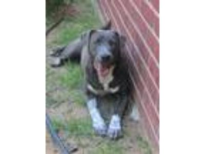 Adopt DIXIE a Australian Cattle Dog / Blue Heeler, Shepherd