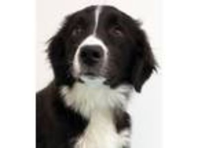 Adopt Clementine a Border Collie