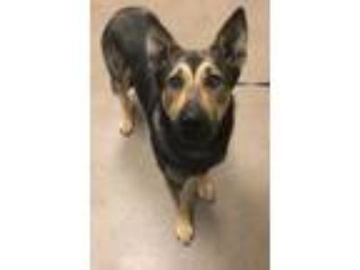 Adopt Brady a Black German Shepherd Dog / Mixed dog in Anderson, SC (25265709)