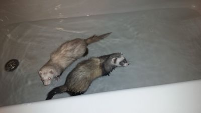 2 ferrets, comes with everything.