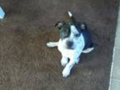 Adopt Wilson a Black - with White American Pit Bull Terrier / Fox Terrier