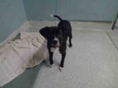 Adopt BUGGY a Black - with White Beagle / Boxer / Mixed dog in Tallahassee