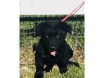 Adopt brandy a Black - with White Australian Shepherd / Border Collie / Mixed