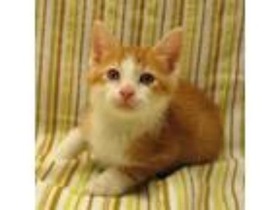 Adopt Seven a Orange or Red Domestic Shorthair / Domestic Shorthair / Mixed cat