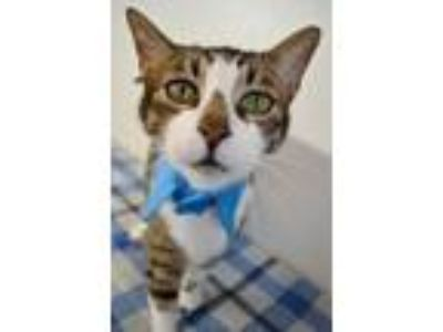 Adopt DOMINIC - AWESOME FRONT DECLAW TAKEN TO KILL SHELTER WHEN OWNER DIED a