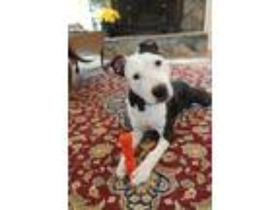Adopt Pierre a Mixed Breed