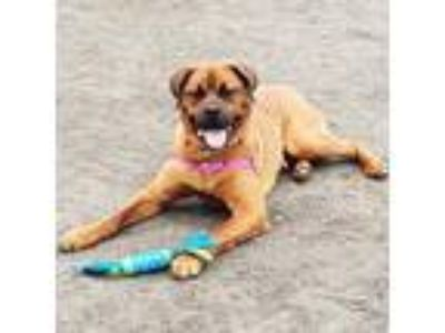 Adopt Kojack a Red/Golden/Orange/Chestnut Mastiff / Mixed dog in Menands