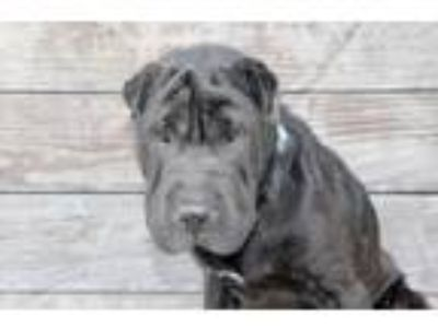 Adopt Moon a Black Shar Pei / Mixed dog in Los Angeles, CA (25637133)
