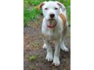 Adopt Carlin in NH a Pit Bull Terrier, Boxer