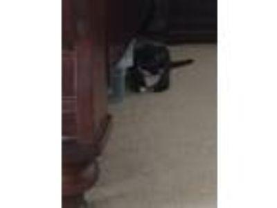 Adopt Elizabeth a Tortoiseshell American Shorthair cat in Hutto, TX (25641619)
