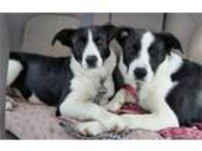 Luigi and Carmela, Border Collie Labrador Retriever Mix Dogs For Adoption in