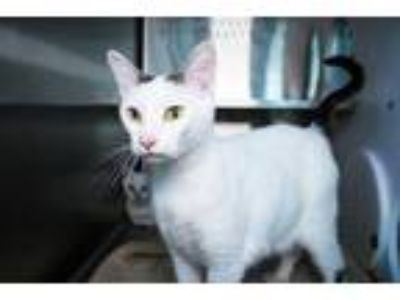 Adopt TWO DOT a Domestic Short Hair