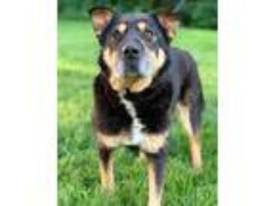 Adopt Madea a Black Shar Pei / Shepherd (Unknown Type) / Mixed dog in Chester