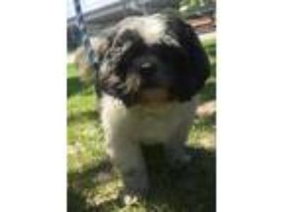 Adopt Ozzy a White Shih Tzu / Mixed dog in New Orleans, LA (25338973)