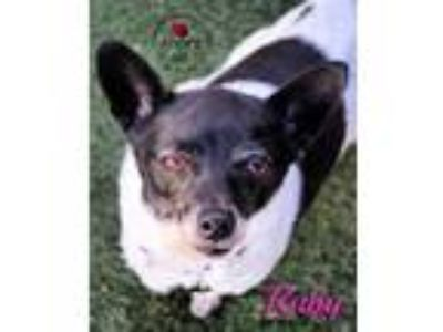 Adopt Ruby a Rat Terrier