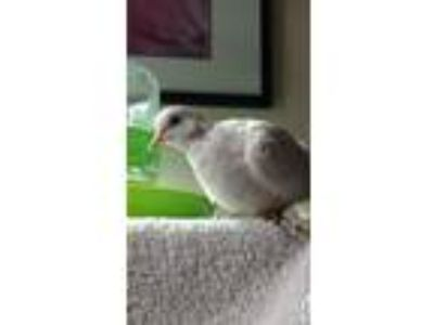 Adopt Honk a White Dove bird in San Francisco, CA (23248370)