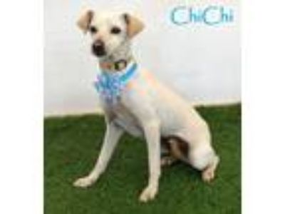 Adopt ChiChi a Whippet